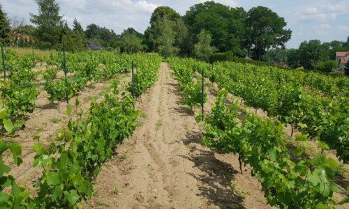 Relacja zwyprawy do polskich winnic